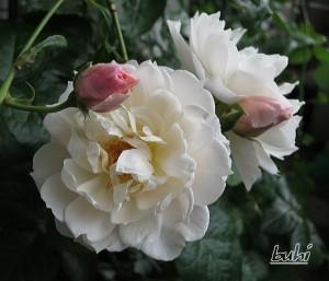 ジェネラスガーデナー(ER) バラ完全無農薬栽培