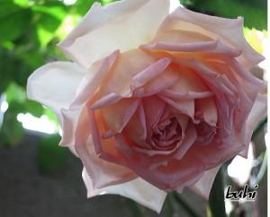 ジャネット(ER)バラ完全無農薬栽培