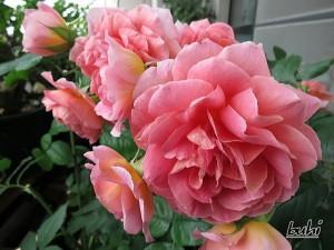 アマンディールシャネル(ギヨローズ)バラ完全無農薬栽培