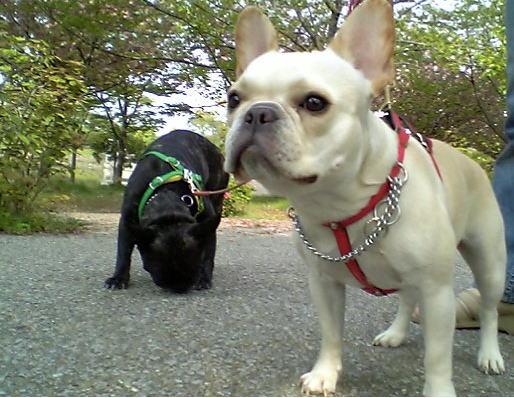 frenchbulldog 2006/04/30 愛:2歳4ヶ月