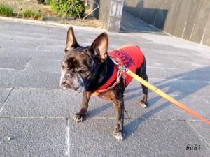 frenchbulldog メグ:12才11ヶ月