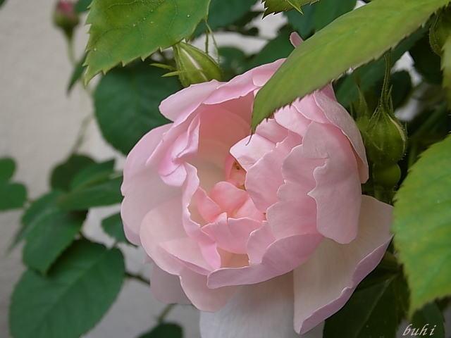 2014/05/09 スキャボロフェア(ER)【完全無農薬栽培】