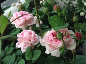 2014/05/12 ワイフオブバス(ER) バラ完全無農薬栽培