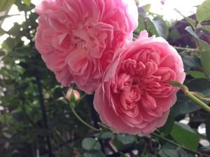 2014/05/12 ラジオタイムス(ER) バラ完全無農薬栽培