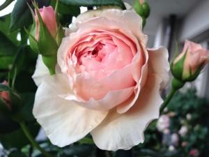 2014/05/12 エマニュエル(ER) バラ完全無農薬栽培