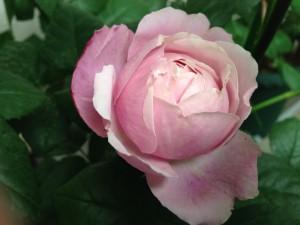 2014/05/13 シャンテロゼミサト(ER) バラ完全無農薬栽培