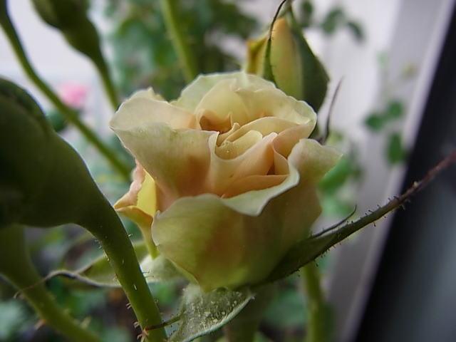 2015/05/02 ベルシーニ(ギヨ) 【完全無農薬栽培】