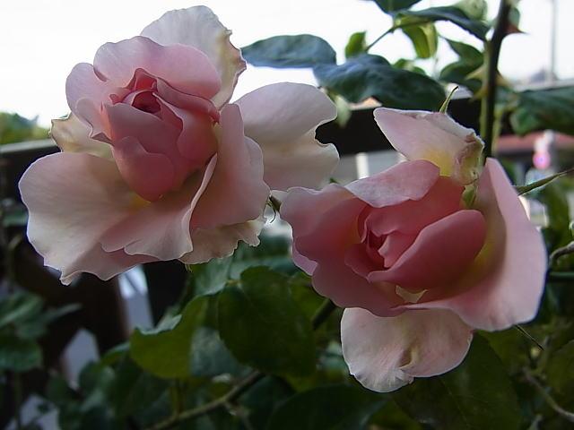2015/05/06 ラジオタイムス(ER)【完全無農薬栽培】