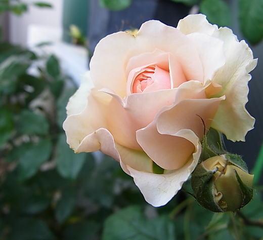 2015/05/06 ベルシーニ(ギヨ)【完全無農薬栽培】